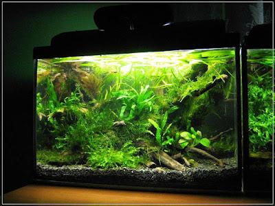 Ryby akwariowe - 46452682