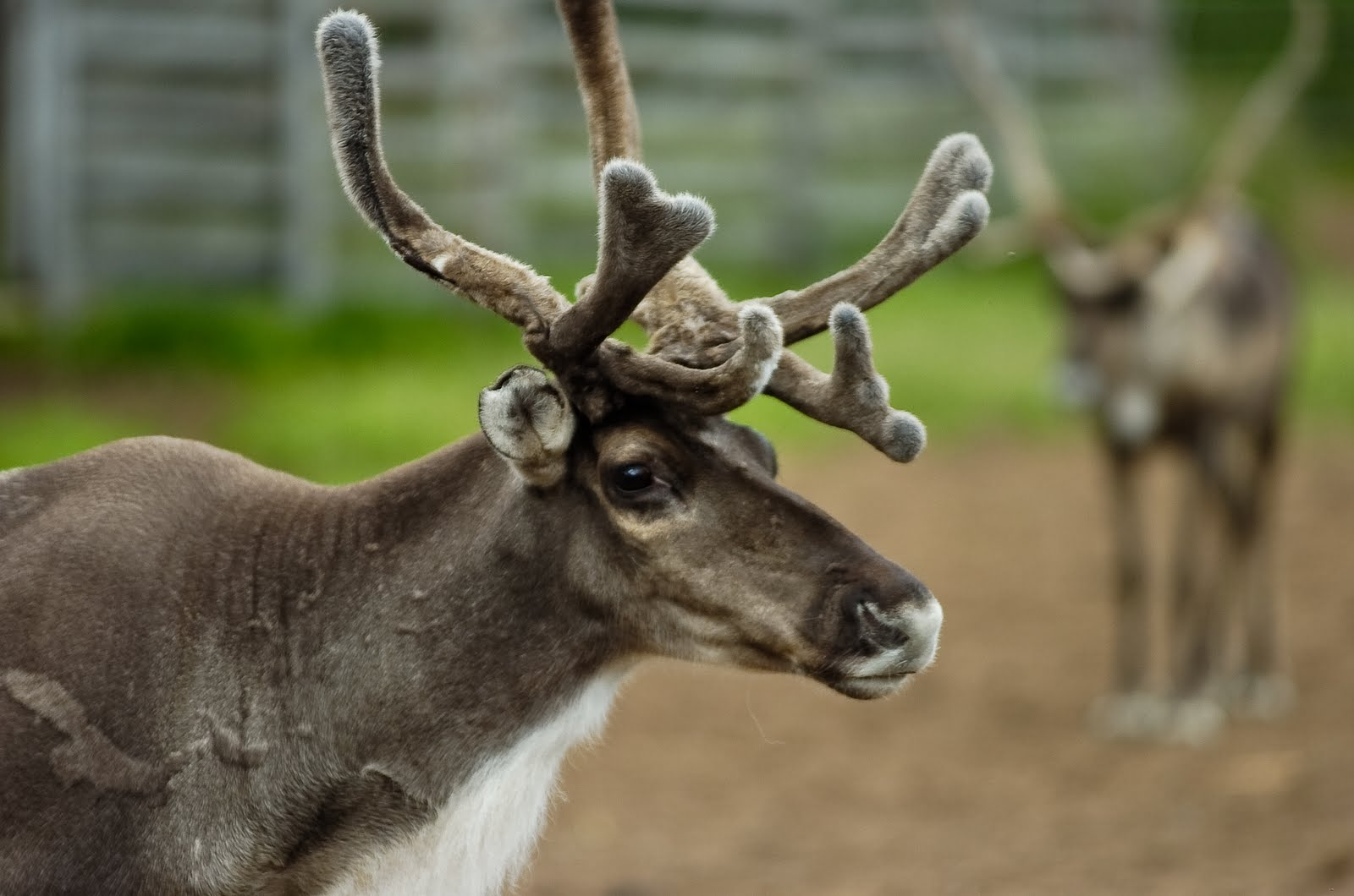 R Reindeer Real Gerrie Ferris Finger: ...