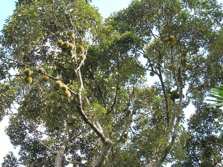 Durian Pauh