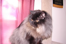 Male Black Persian  Breeder Show Quality DOB 4/27/2008