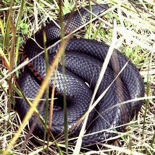 black snake large