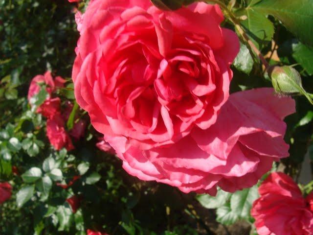 mein waldgarten herbstimpressionen rosen im regen. Black Bedroom Furniture Sets. Home Design Ideas