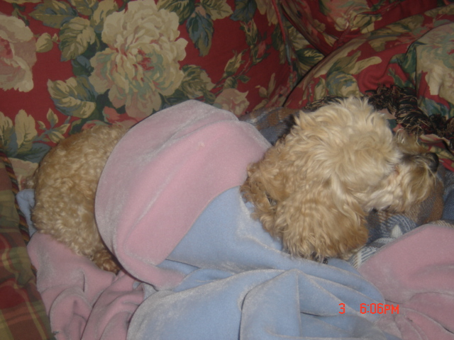 small fuzzy dog with curly hair lies on a flowered couch, burrowed in several blankets