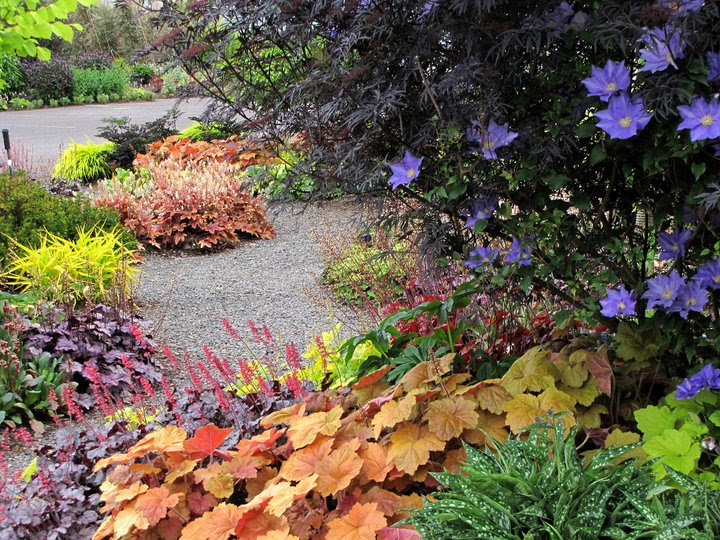Heucheraholics: Colourful Heucheras in the Terra Nova garden