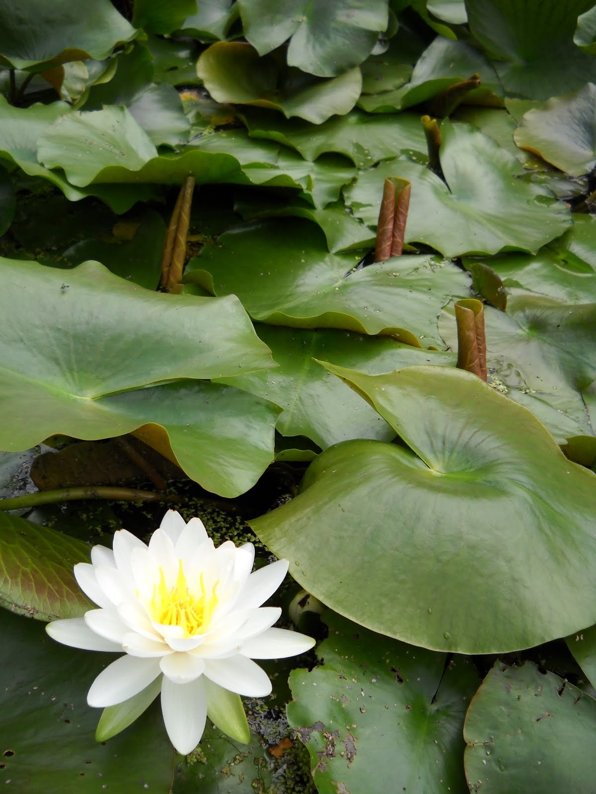 The Garden Harlot Potted Water Lily Galore Compared To Before
