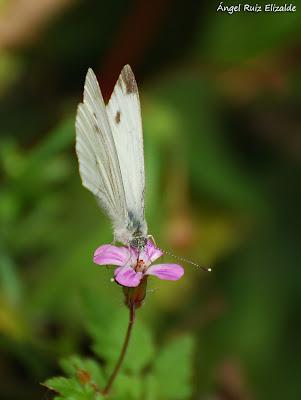 Blanquita de la col (Pieris rapae)
