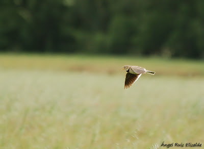 Calandra Lark performing its flight song