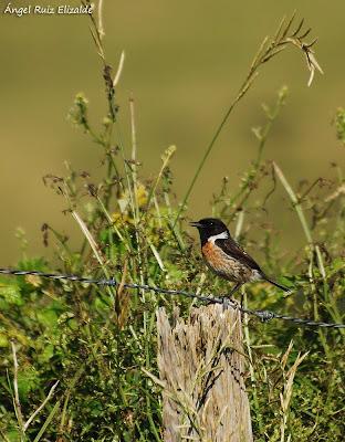 Tarabilla común (Saxicola rubicola) macho