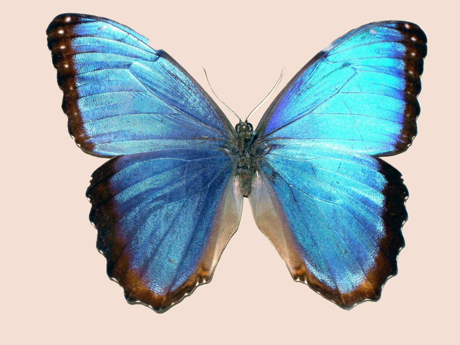 hintergrundbilder schmetterling - Butterflies Live Wallpaper: Schmetterlinge als Live