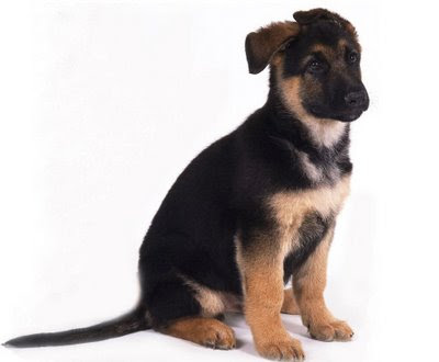 Puppies on German Shepherd Puppy  Choosing German Shepherd Puppy  Good German