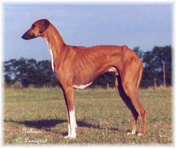 Afrikan Azawakh Dog Breed Ancient Dogs Azawakhs