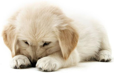 puppy personality traits, personality study of puppies