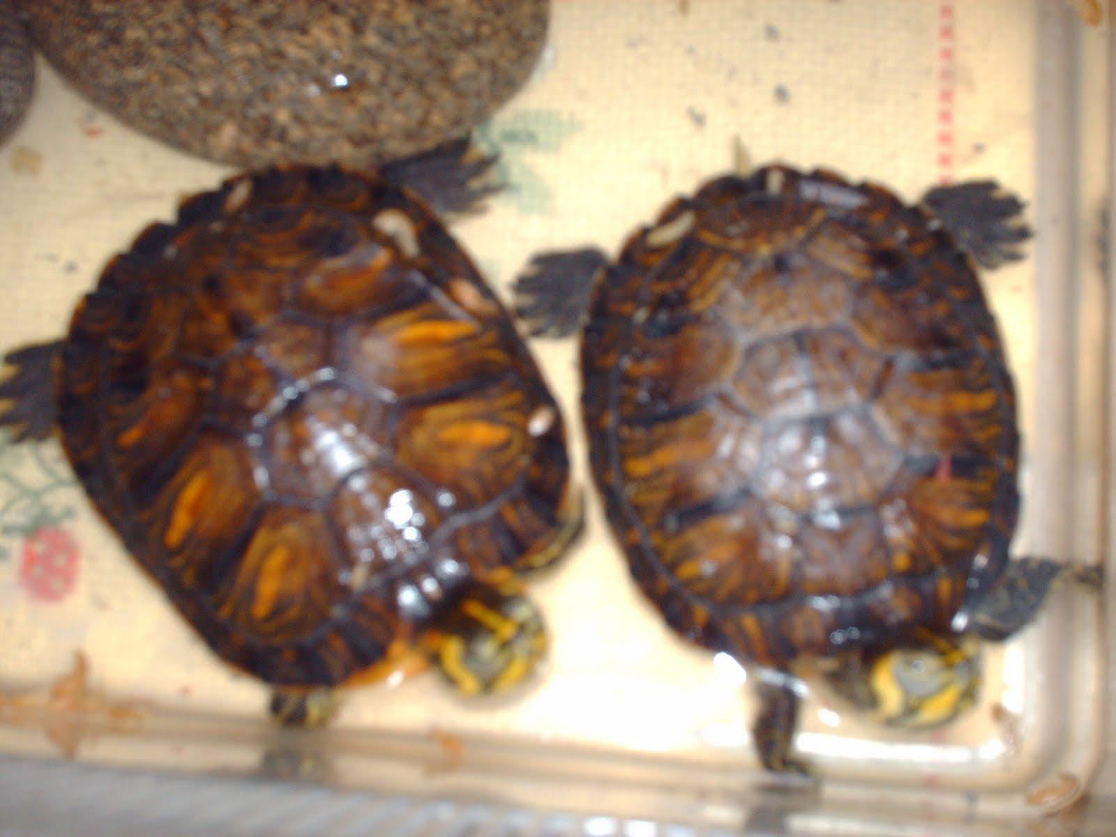 Le nostre tartarughine!