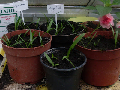 garten anders die schmucklilie agapanthus muss man. Black Bedroom Furniture Sets. Home Design Ideas