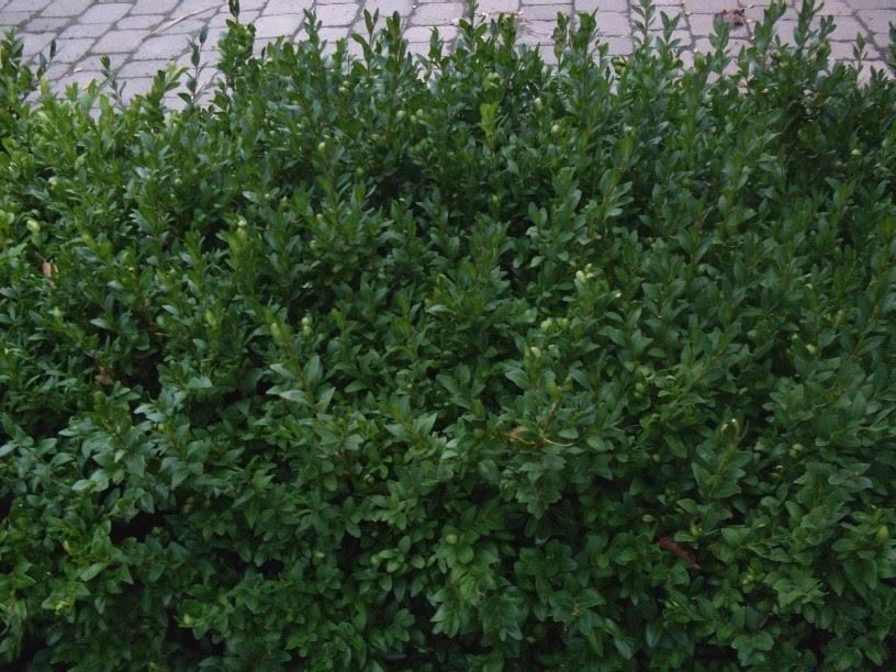 Garten anders anleitung in bildern zum buchsbaum stecken for Buchsbaum garten gestalten