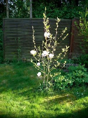 garten anders die pflanzzeit f r magnolien ist jetzt. Black Bedroom Furniture Sets. Home Design Ideas