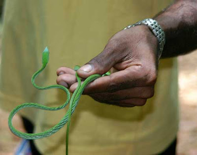 garden was ahaetulla nasuta or a long nosed whip snake