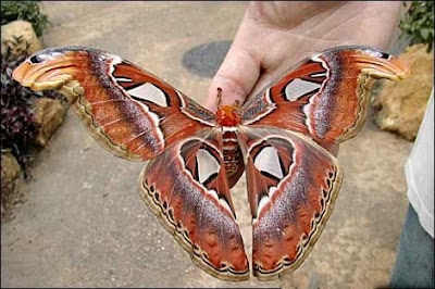 The Largest Beautiful Butterfly in The World