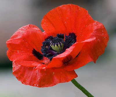 beautiful Oriental Poppy