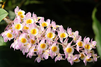 beautiful Dendrobium