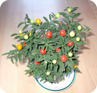 Solanum winter cherry