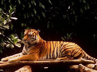 Kumpulan Gambar Harimau Sumatera