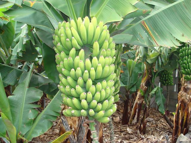banane-canaries.jpg