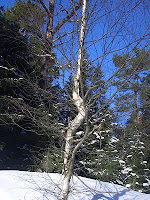 A birch with a bend