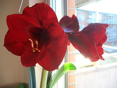 Hippeastrum in bloom