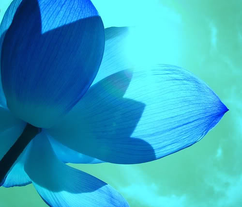 Blue Lotus Flowers beautiful-blue-lotus-flower-petals wallpapers