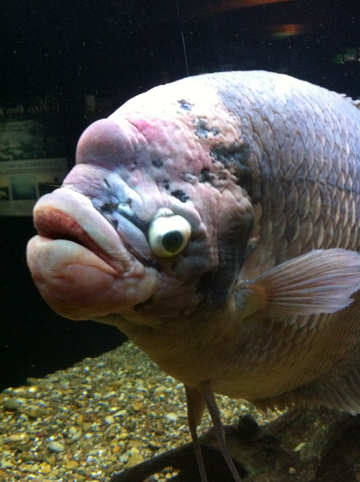 The most ugliest fish for Ugly fish pictures