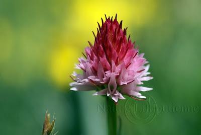 Orchis vanillé