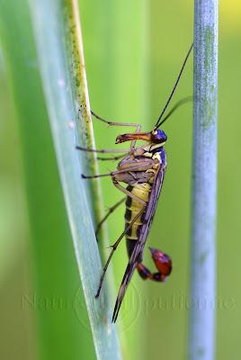 Mouche Scorpion mâle