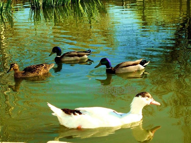 Patos en lago