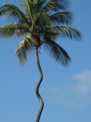 a palm tree with a cork screw looking trunk