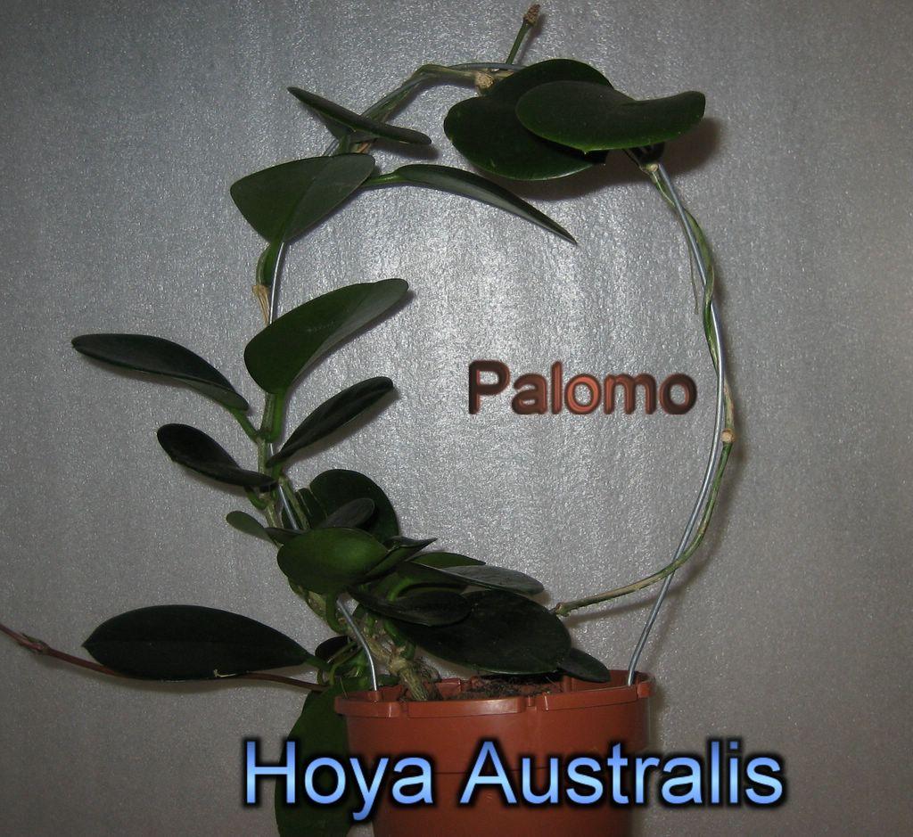 Epiphyllum Hoya Stapelia: Hoya Australis