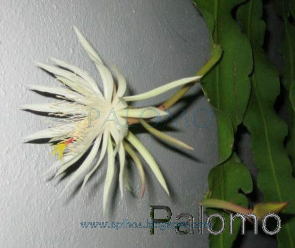 Epiphyllum Hoya Stapelia: Epiphyllum Strictum