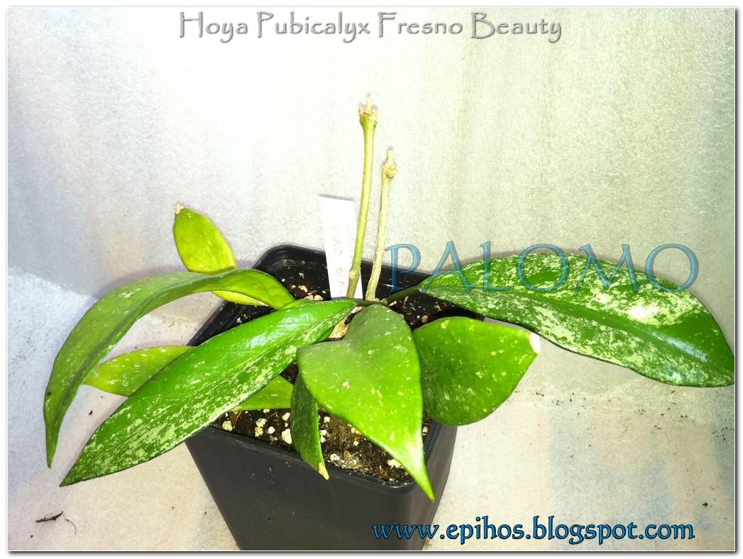 Epiphyllum Hoya Stapelia: Hoya Pubicalyx Fresno Beauty