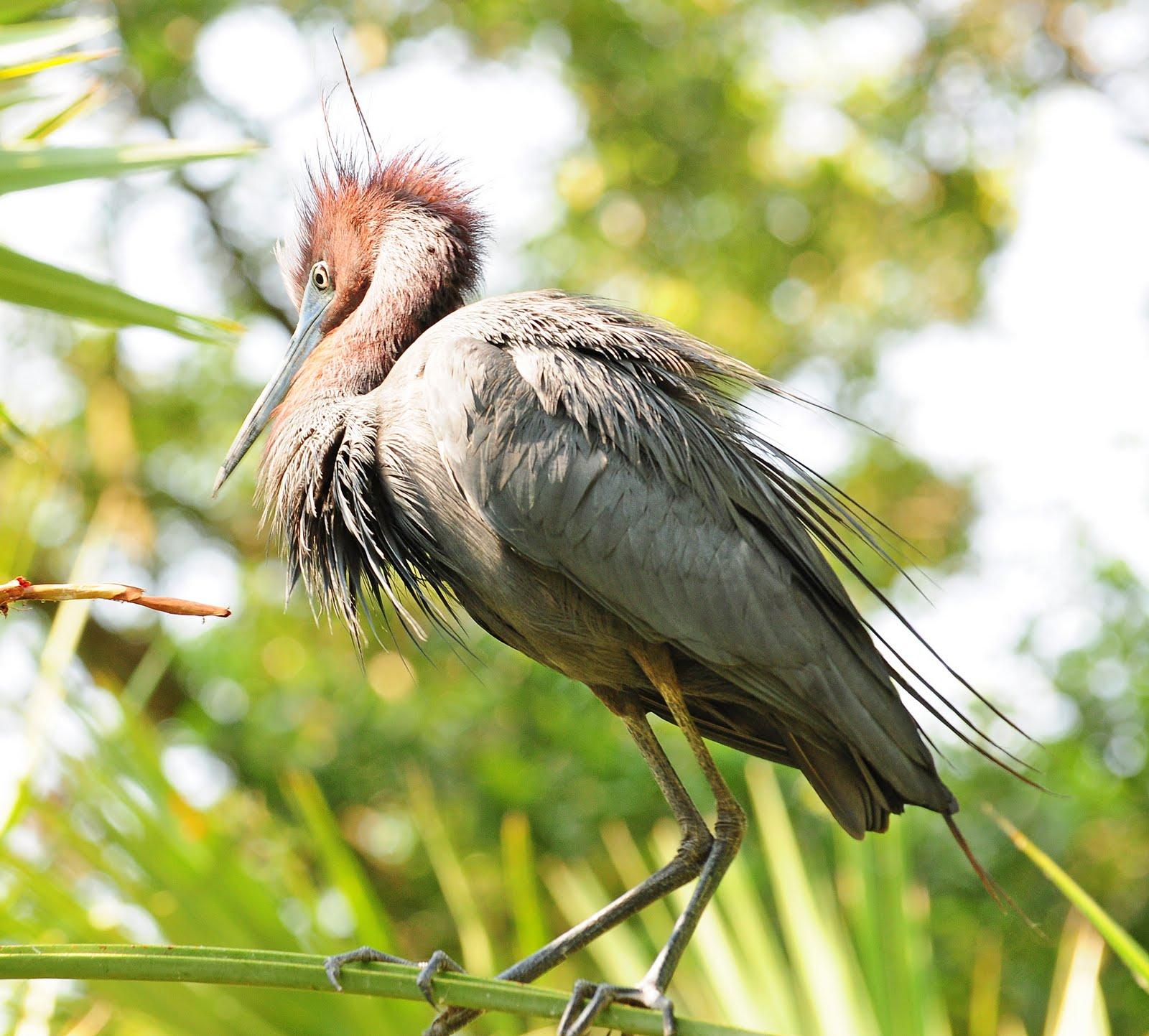 Baby blue heron bird - photo#7