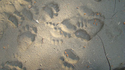 bear tracks in Perins Peak area.