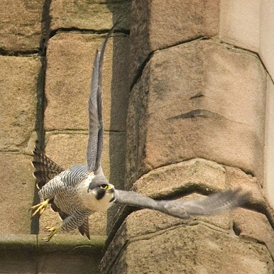 Adult female peregrine. Photo: G Whitmore.
