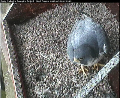 Female peregrine inspecting Derby Cathedral's recently refurbished nest platfomr
