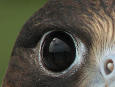 Peregrine falcon eye - from an image of a juvenile by John Salloway