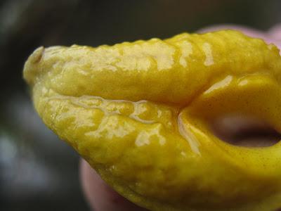 tp://illumbomb.blogspot.ca/2010/09/c-sp-yellow-ring-pahang-7-bukit-ibam.html