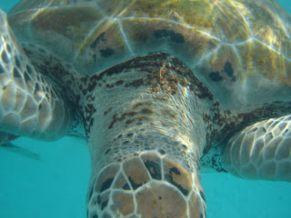 Photo of an endangered turtle underwater in the sea in Barbados