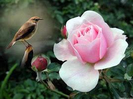 Rosa Rosa ou K4