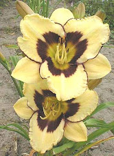 Hemerocallis ( Bolbosa)