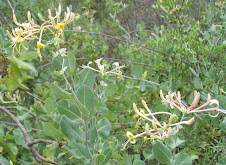 Planta melífera