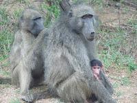Babuinos. Parque Nacional Kruger