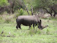 Rinoceronte blanco. Parque Nacional Kruger